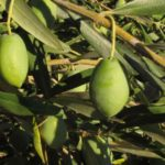 MARATHONS® Oliven – Grüne Chalkidikis, Geschnitten, 2kg, Fass